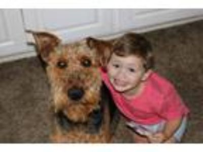 Adopt Reese a Black - with Tan, Yellow or Fawn Airedale Terrier / Mixed dog in