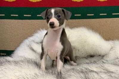 Bella - Blue and White Italian Greyhound Female
