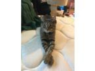 Adopt Robin a Gray, Blue or Silver Tabby American Shorthair cat in Springfield