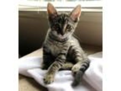 Adopt Emerson a Gray, Blue or Silver Tabby Domestic Shorthair (short coat) cat