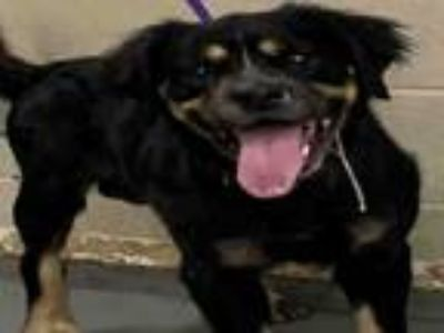 Adopt PRINCE a Rottweiler, Mixed Breed