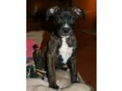 Adopt Price LB a Brindle - with White Boxer / Mixed dog in Rosemont