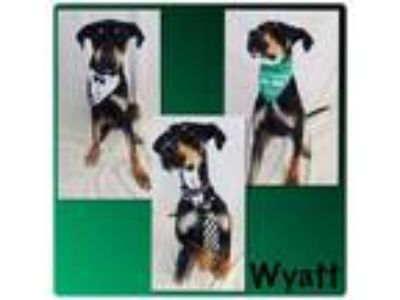 Adopt Wyatt - Pawsitive Direction Program a Doberman Pinscher, Hound