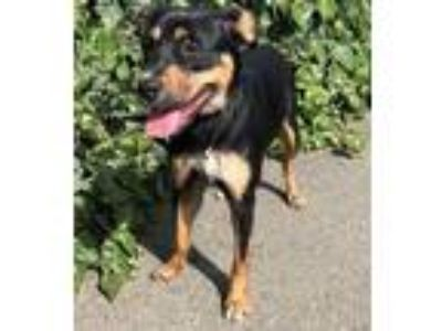 Adopt Squiggles a Rottweiler, German Shepherd Dog