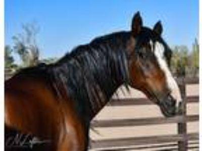 Adopt Coraline a Arabian, Saddlebred
