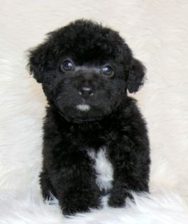 Poodle/male-Black
