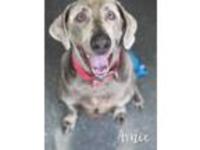 Adopt Arnie a Gray/Blue/Silver/Salt & Pepper Weimaraner / Mixed dog in