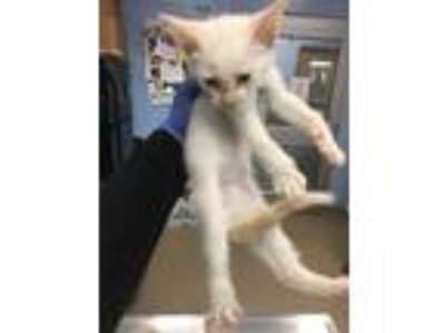 Adopt Clark a Cream or Ivory Domestic Shorthair / Domestic Shorthair / Mixed cat