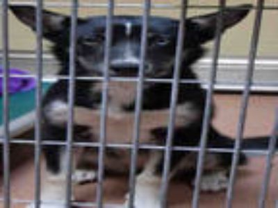 Adopt a Black - with White Husky / Mixed dog in Ogden, UT (25312204)