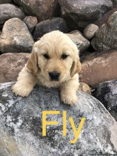 Purebred Golden Retriever Pups