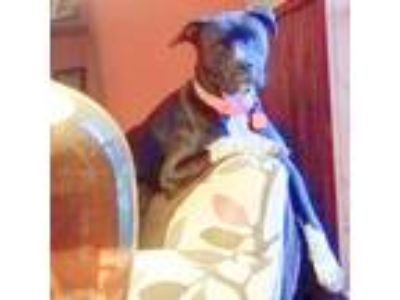 Adopt Ethel a Black - with White Boxer / Pit Bull Terrier / Mixed dog in