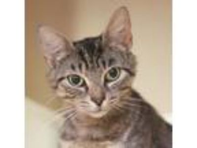 Adopt Fresca a Gray or Blue Domestic Shorthair / Domestic Shorthair / Mixed cat