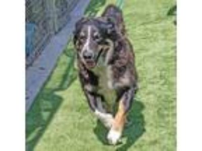 Adopt Syndey a Black - with Brown, Red, Golden, Orange or Chestnut Border Collie
