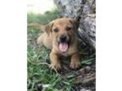 Adopt Sampson a Red/Golden/Orange/Chestnut Golden Retriever / Australian Cattle