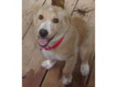 Adopt Sandy a Red/Golden/Orange/Chestnut - with White Border Collie / Golden