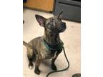 Adopt Mars a Brindle Shepherd (Unknown Type) / Mixed dog in Philadelphia