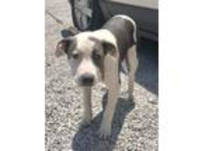 Adopt Verdi a White - with Gray or Silver American Pit Bull Terrier / Mixed dog