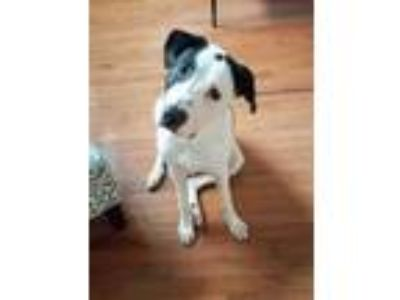 Adopt Miles a White Great Pyrenees / American Staffordshire Terrier / Mixed dog