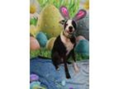 Adopt Pirate Jack a Black Border Collie / Whippet / Mixed dog in New Orleans