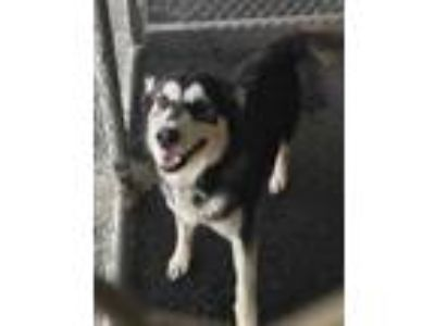 Adopt Charlie a Black Husky / Mixed dog in Selma, CA (25864366)
