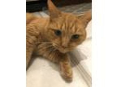 Adopt Clementine a Orange or Red Domestic Shorthair / Mixed cat in Grand Rapids