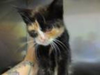 Adopt Lexus a Domestic Short Hair
