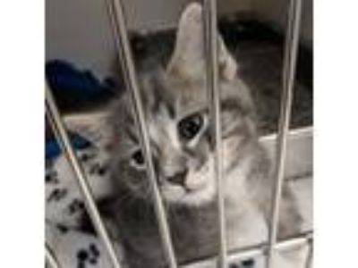 Adopt Burke a White Domestic Shorthair cat in Toledo, OH (25369926)