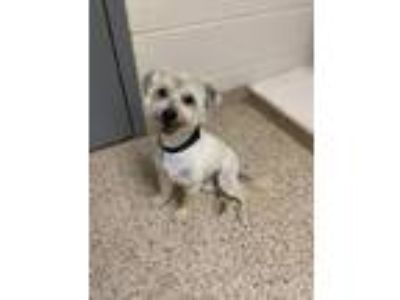 Adopt Riley a Terrier, Poodle