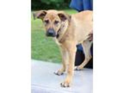 Adopt Gunner a Tan/Yellow/Fawn - with White Shepherd (Unknown Type) / Mixed dog