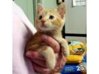 Adopt Chessie a Domestic Shorthair / Mixed cat in Waynesville, NC (25920473)