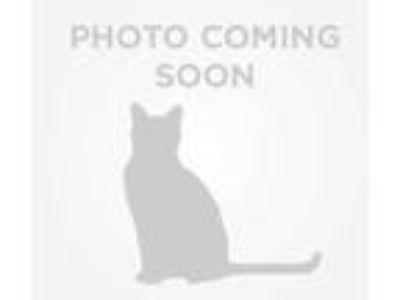 Adopt TOULOUSE a White (Mostly) Domestic Shorthair / Mixed (short coat) cat in