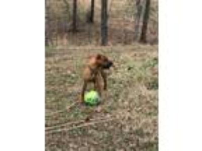 Adopt MOOSE a Brown/Chocolate Flat-Coated Retriever / Rhodesian Ridgeback /