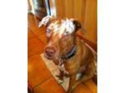 Adopt Daphne a Brindle Labrador Retriever / American Staffordshire Terrier /