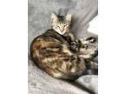 Adopt Lacy a Tortoiseshell American Shorthair (short coat) cat in Marietta