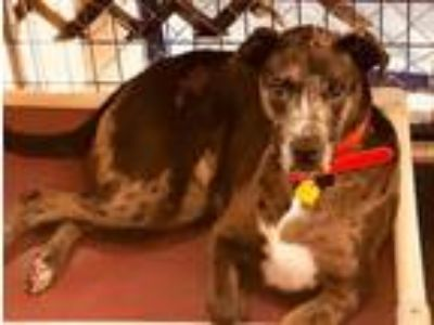 Adopt Jewels a Catahoula Leopard Dog, Pit Bull Terrier