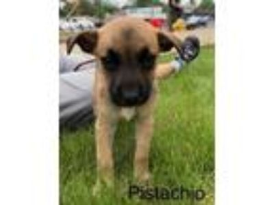 Adopt Pistachio a Boxer, German Shepherd Dog