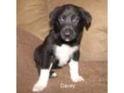 Adopt Davey a Black German Shepherd Dog / Mixed dog in Wisconsin Rapids