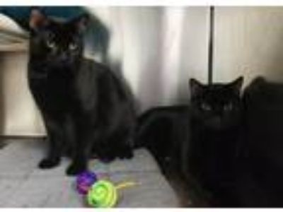 Adopt Skye and Shilo a Domestic Short Hair