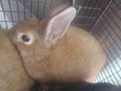 Adopt a Fawn Other/Unknown / Mixed rabbit in Tucson, AZ (25347287)