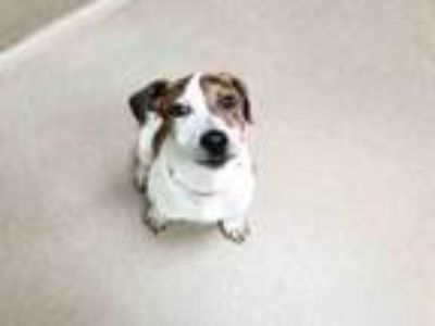 Adopt REMY a Hound, American Staffordshire Terrier