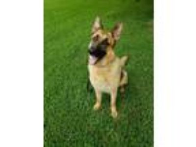 Adopt Sunset a German Shepherd Dog