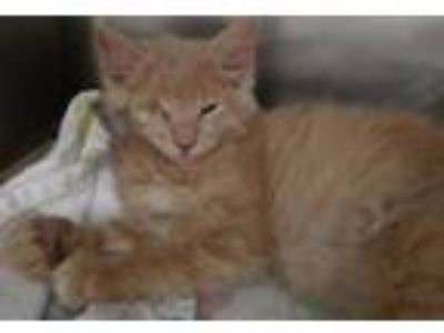 Adopt Slater a Domestic Medium Hair, Domestic Short Hair