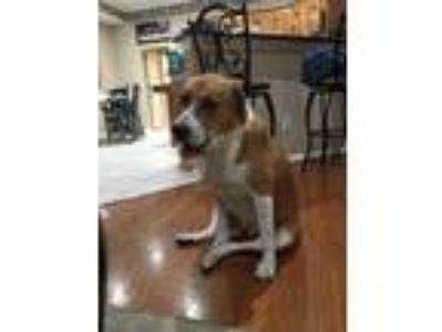Adopt Angel a White - with Brown or Chocolate Labradoodle / Labrador Retriever /