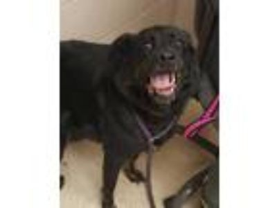 Adopt Jason a Black Shepherd (Unknown Type) / Mixed dog in Noblesville