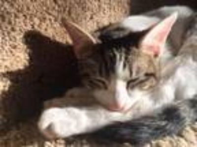 Adopt Asher Fostered (Jessica K) a Domestic Short Hair
