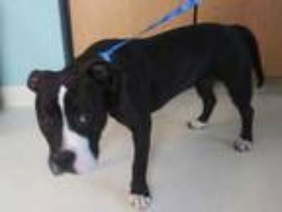 Adopt CHELSEA* a Black - with White American Pit Bull Terrier / Mixed dog in