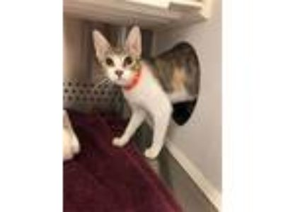 Adopt Painted Lady a Domestic Short Hair