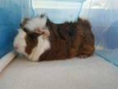 Adopt PENELOPE a Red Guinea Pig / Mixed small animal in Grand Prairie