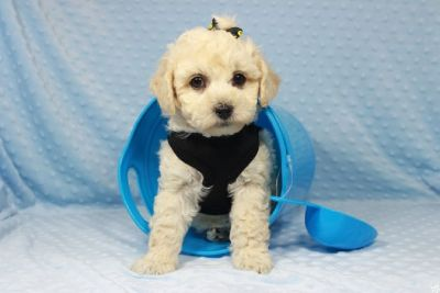 Cream Colored Maltipoo Puppies in Las Vegas!