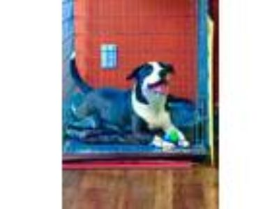 Adopt Boomer a Border Collie, Terrier